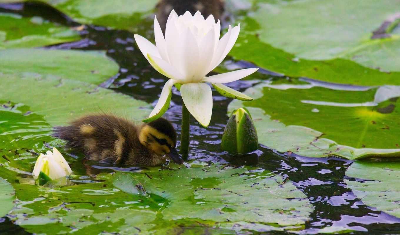water, lily, нимфея, бутоны, утенок, утка,