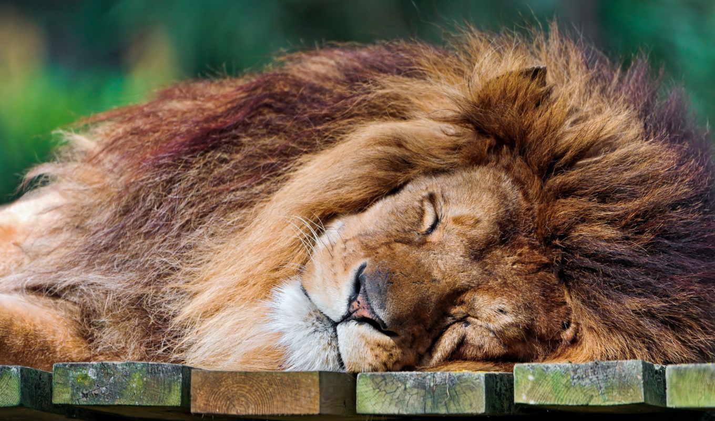 lion, хищник,