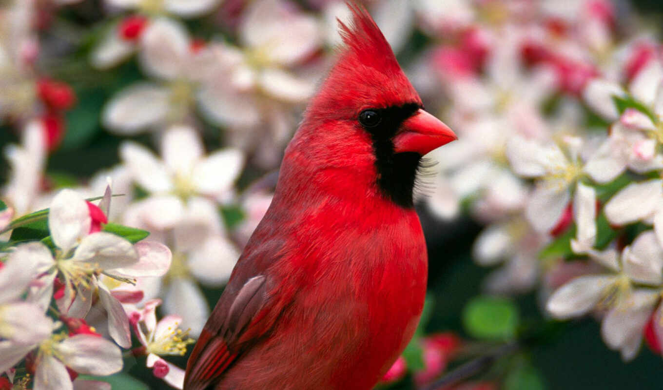 northern, bird, red, desktop, ani, salveaz