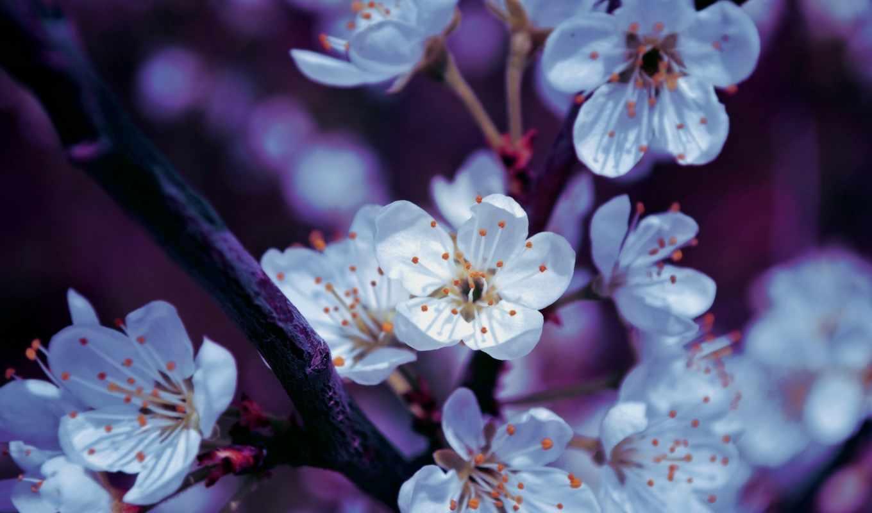 spring, blossoms, природа, белое, цветение, desktop, little, изображение, flower, stock,