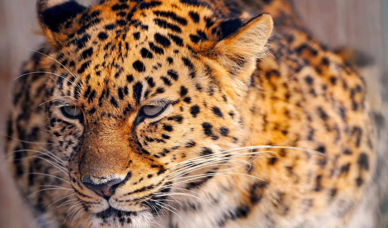 животные, леопард, природа, jaguar, июня, автомобили, наши, animal,