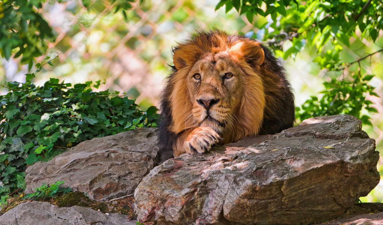 красивые, lion, только, совершенно, daily, заставки,