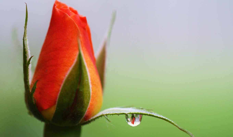 роза, бутон, цветы, картинка, отражение, drop, капли,
