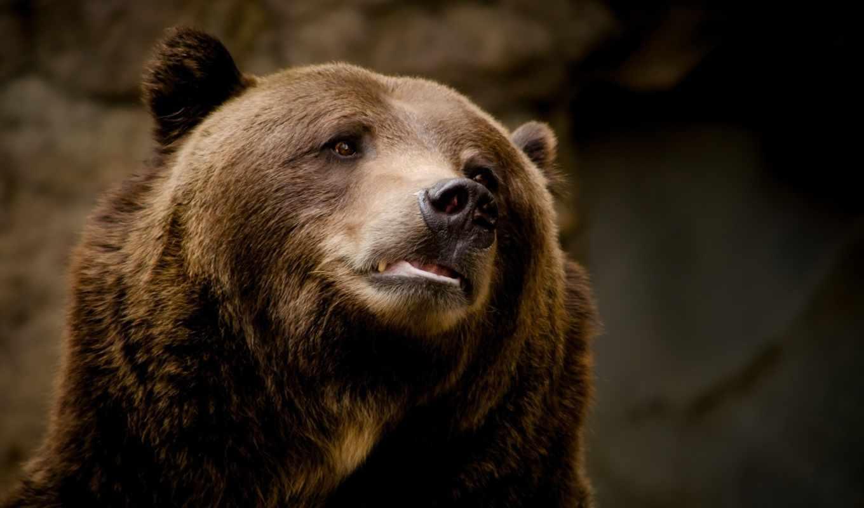 медведь, морда, взгляд,