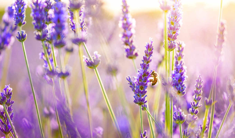 hoa, hành, hương, oải, nın, lavender, tắm, màu, cho,