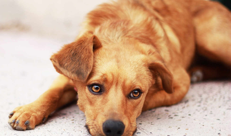 , милый, пес, собака, морда, глаза