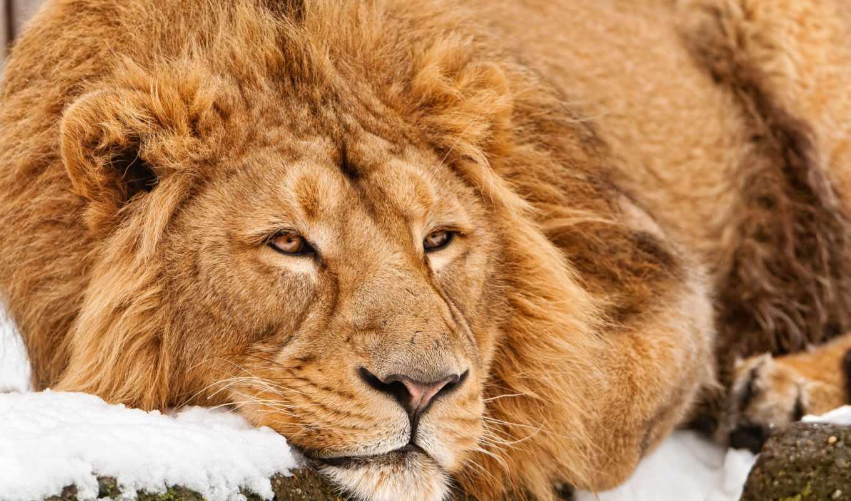 lion, львы, снег, морда, загружено, коллекция, лучшая, кот, уже, winter,