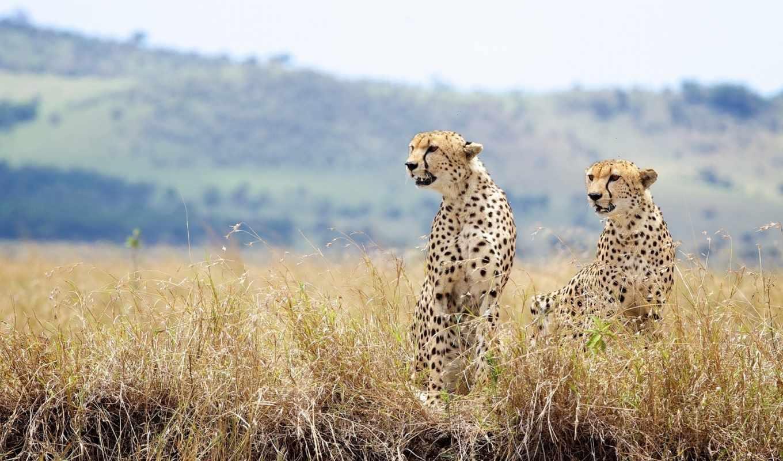 гепард, пара, cheetahs, wild, cats, трава, zhivotnye, photos,