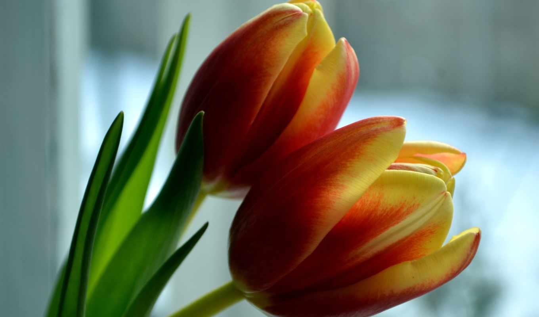 тюльпаны, цветы, coupe, крупным, планом, много, часы, шкафы,
