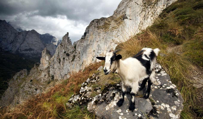 козел, коллекция, цена, грн, козлы, записи, животные,