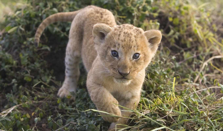 львы, lion, zhivotnye, кб, молодой, тигры, картинка, львица, кошки, большие, львенок,