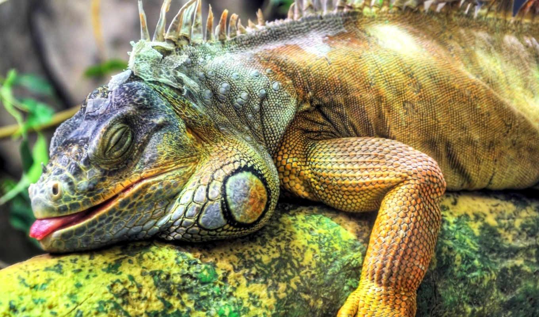 iguana, игуаны, большая, zhivotnye, ящериц, игуан, reptile, домашних, ящерицы, условиях,