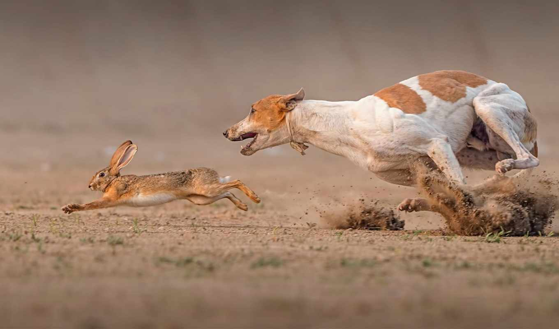 заяц, собака, race, смерть, картинка, собаки,