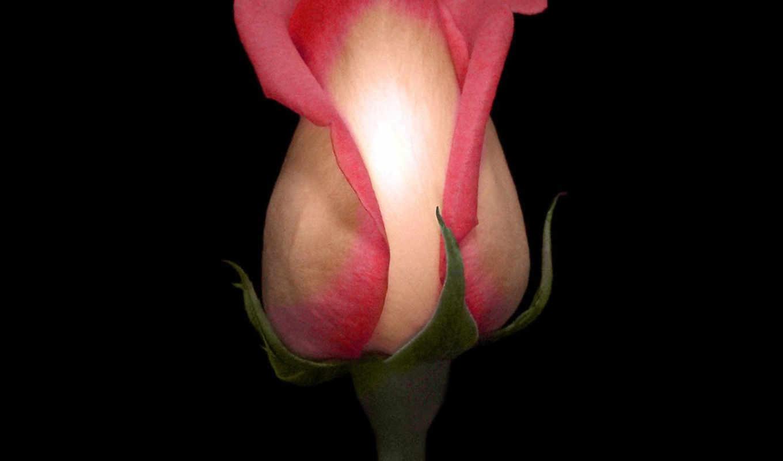 fone, цветы, черном, роза,