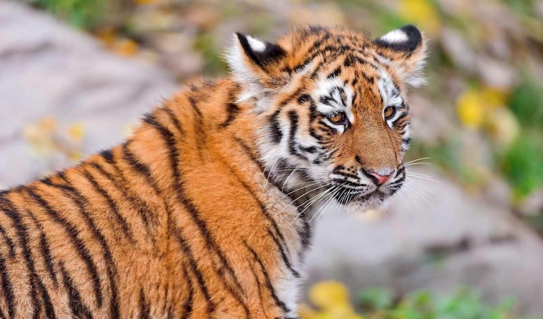 тигр, тигренок, морда, смотрит, картинка, картинку,
