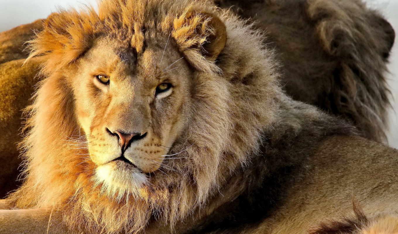 lion, морда, грива, взгляд, только, заставки, panthera, лео,