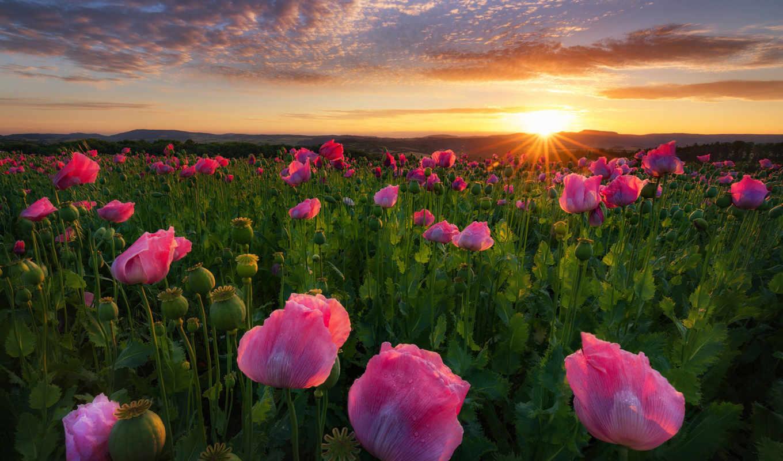 cvety, sun, красивые, маки, уже, коллекция, лучшая, загружено,