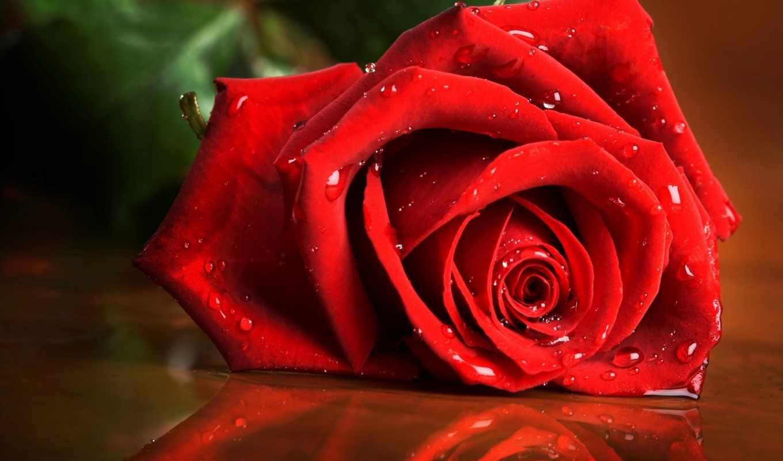 роза, капли, алая, картинку, flowers, красная, mail, ней, выберите, правой, мыши, кнопкой,