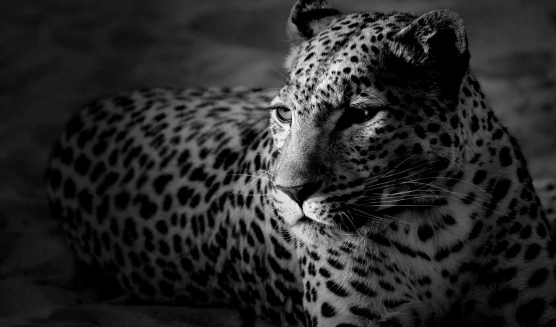 чёрно, белые, картинка, леопард,