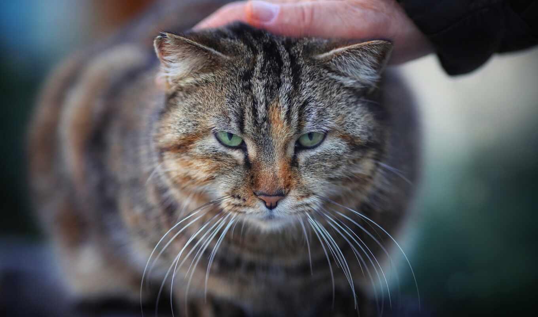 кот, arm, взгляд, морда, бакенбарды, размытость, окрас, смотреть