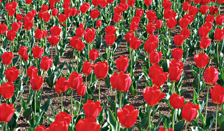 тюльпаны, цветы, красные, hd, wallpaper, nature, flowers, тень, земля,