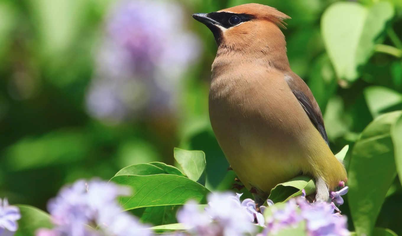 весна, природа, цветы, свиристель, птица, куст, серень,