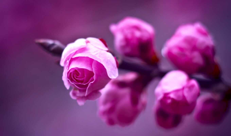 розовые, розы, branch, макро, роза, размытость, фиолетовый, цветы, розовая, розовый, картинку,