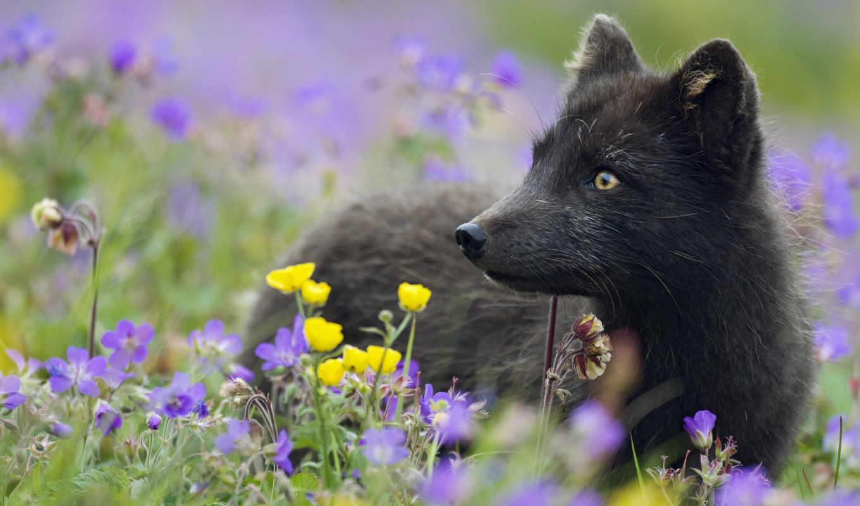 чернобурка, фокс, америке, встречается, северной, образом, главным, принято, малая, народе, короткоухая,