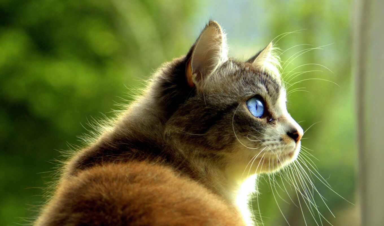 кот, glance, pet, зелёный, взгляд, глаз, питомец, russian
