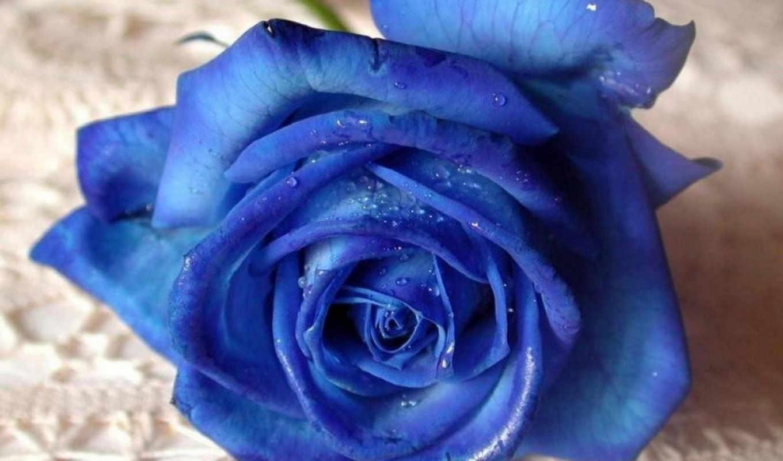 роза, цветы, розы, синяя,