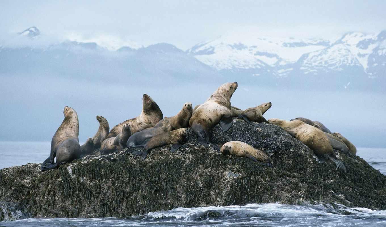 море, lions, steller, аляска,