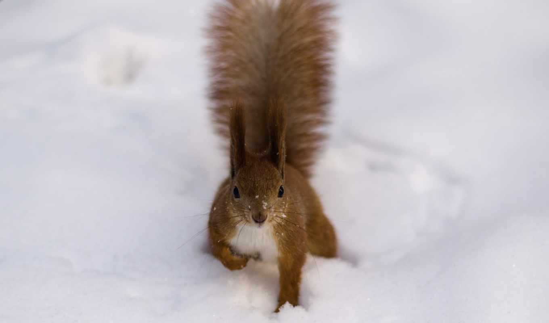 белка, хвост, рыжая, zhivotnye, снег, пушистая, кисточки,