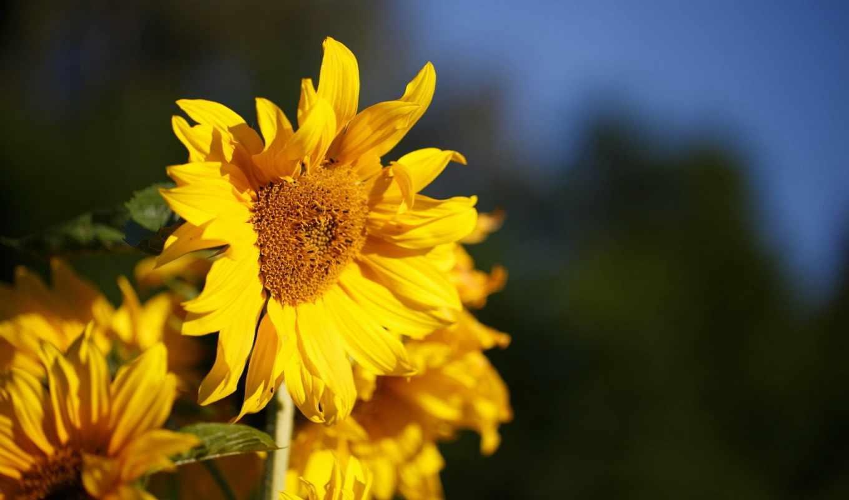 цветы, flowers, sunshine, подсолнух,
