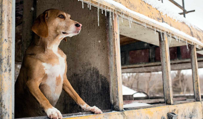 собака, out, окно, looking, смотрит, каждый, фон, zhivotnye,