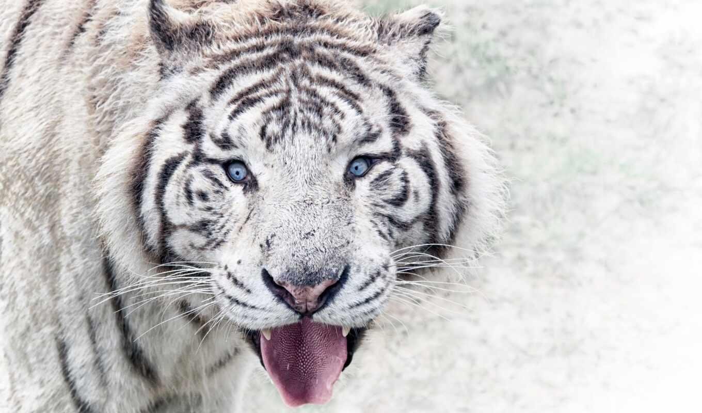 тигр, white, фотография, красивый, zoopark, окрас, free, bengalskii, животное, albinos, они
