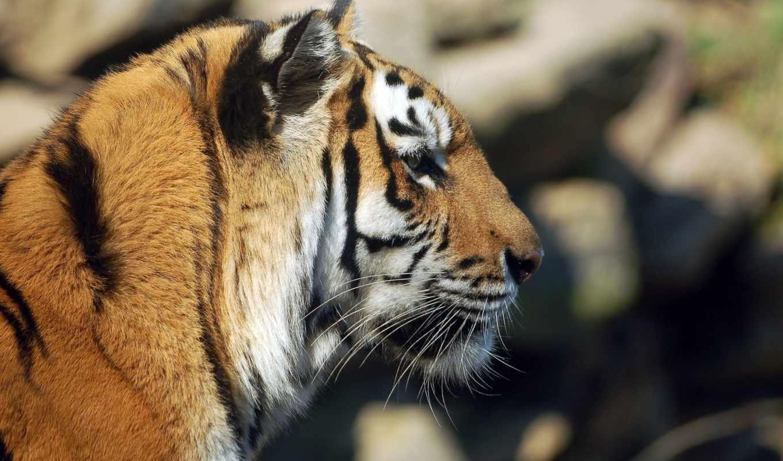 кот, морда, дикая, тигр, profile,