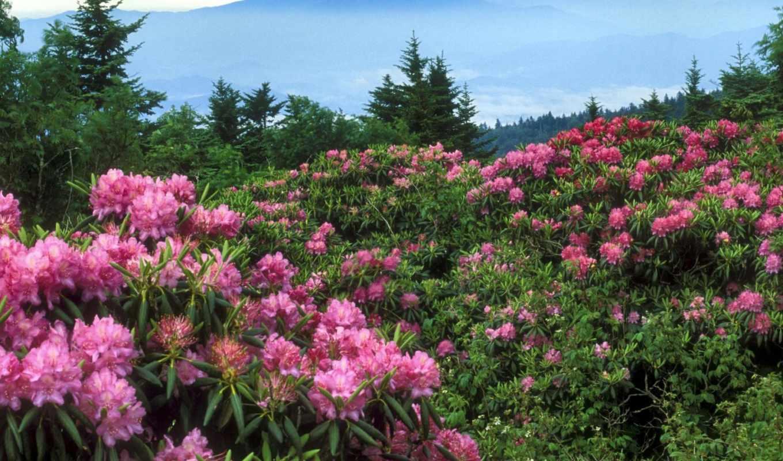 cvety, сайте, горах, горные, цветов, цветок,