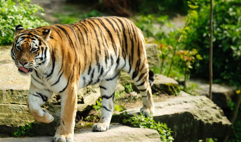 ecran, тигр, fond, выгул, fonds, desktop,