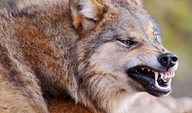 slike, pozadinu, волки, slika, волков, напал, vuk, районе, životinja,