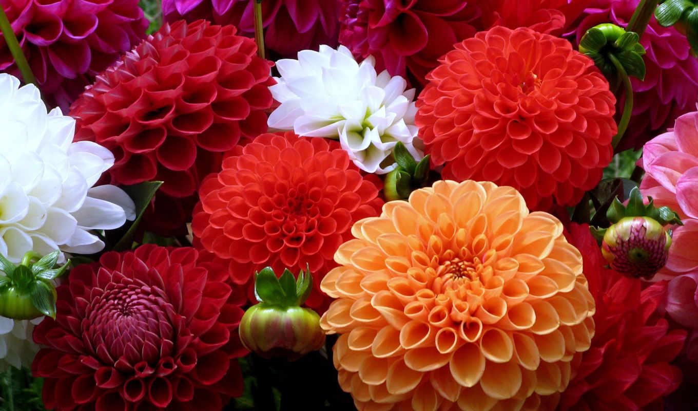 георгины, разноцветие, белый, оранжевый, красный, мне, без,