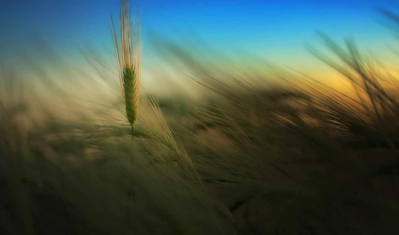 поле, природа, колоски, вечер, небо, лето, wheat, ear,