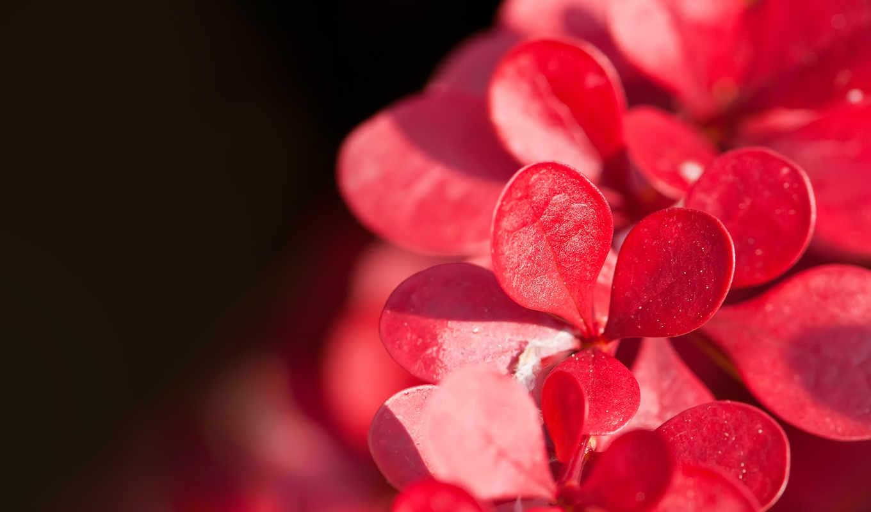 цветы, красивые, красные, макро, лепестки,