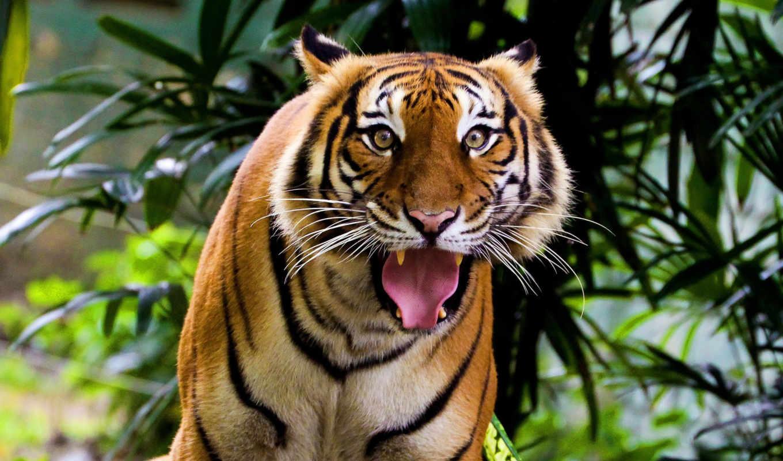 тигр, удивленный, индийский, усы, взгляд, морда, полосатая, кошка, картинка, картинку,