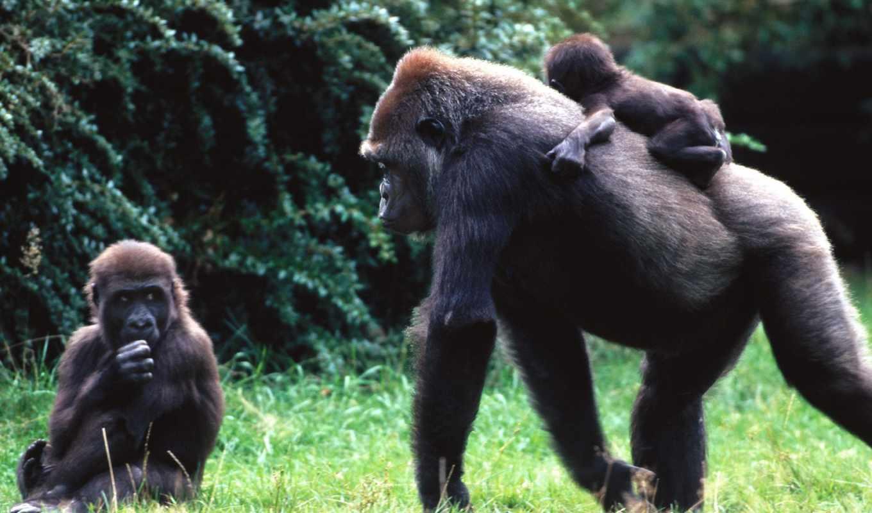 обезьяна, спине, обезьяны, обезьян, горилла,