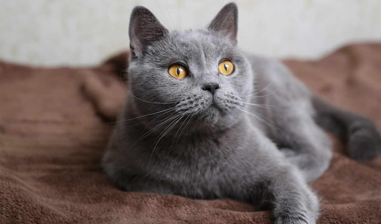 кошки, качестве, британцы, высоком, разрешений, отличном, everything,