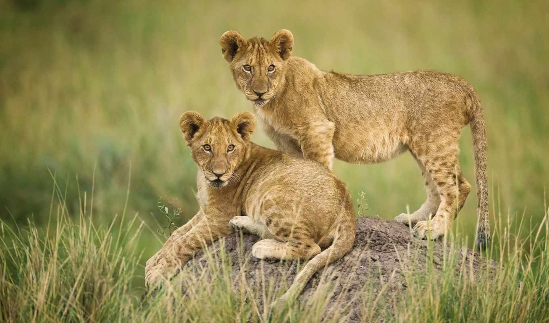 львы, красивые, pin, уже, загружено, коллекция, лучшая, львята, широкоформатные,