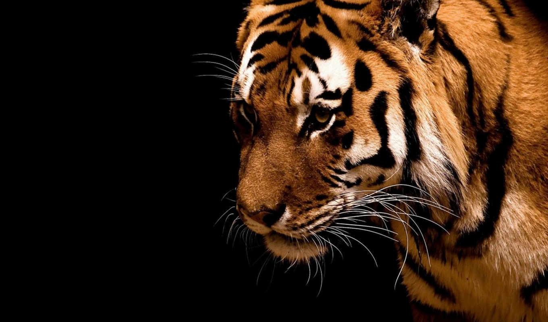 tiger, background, iphone, fondos, black, jour, tigre,