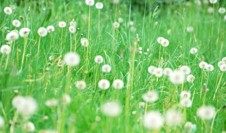 cvety, pole, цветов, leto, поляна,