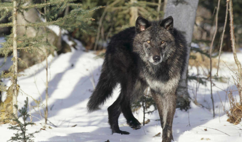 волк, широкоформатные, zhivotnye, качества, волки, высокого, серый, фотографий, ni, заставки,