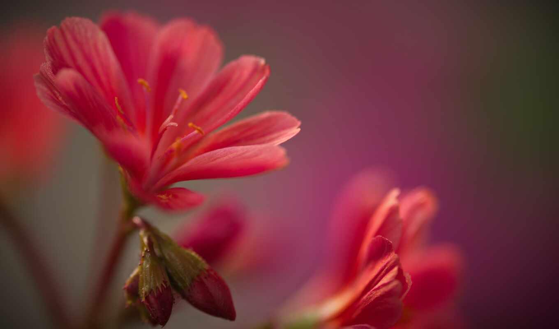цветы, side, картинка, red
